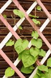 Blätter auf einem hölzernen Gitter der Veranda lizenzfreies stockfoto