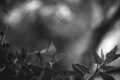 Blätter auf einer Niederlassung in Schwarzweiss stockbild