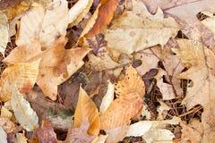 Blätter auf Kiefer-Nadeln Lizenzfreie Stockfotografie
