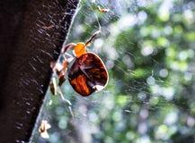 Blätter auf spiderweb Stockbild