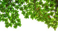 Blätter auf weißem Hintergrund Lizenzfreie Stockbilder