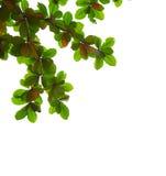 Blätter auf weißem Hintergrund Stockbilder