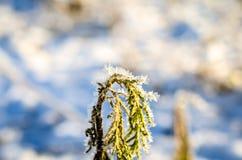 Blätter bedeckt mit Eiskristallen im Winter Stockbild