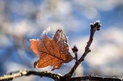 Blätter bedeckt mit Eiskristallen im Winter Stockfotos