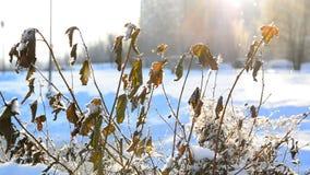 Blätter bedeckt mit Frost im Licht des Sonnenuntergangs in der Stadt stock video footage