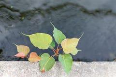 Blätter Bodhi oder des pho Lizenzfreies Stockfoto