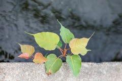 Blätter Bodhi oder des pho Lizenzfreie Stockfotos