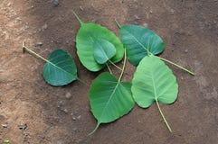 Blätter Bodhi Peepal Stockfoto
