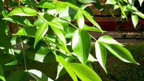 Blätter der Asche am sonnigen Tag in der Stadt parken stock footage