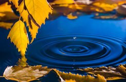 Blätter der Birke über dem Wasser mit Kräuselungen von den Regentropfen Lizenzfreies Stockfoto