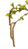 Blätter der Birke Lizenzfreie Stockfotos