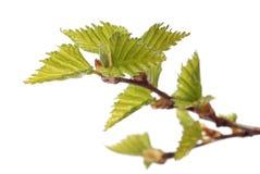 Blätter der Birke Stockfotografie