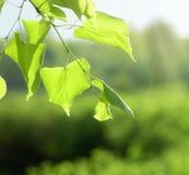 Blätter der Birke im tiefen Wald Stockbild