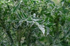 Blätter der Carduus acanthoides (stachelige Weg-Distel) Lizenzfreie Stockbilder