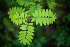 Blätter der Eberesche auf einem dunklen Hintergrund stockfoto
