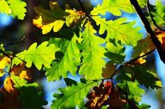 Blätter der Eiche lizenzfreies stockfoto