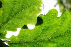 Blätter der Eiche Lizenzfreies Stockbild