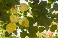 Blätter der Espe stockbild