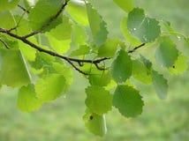 Blätter der Espenpappel Lizenzfreie Stockfotografie
