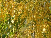 Blätter der gelben Birke Lizenzfreie Stockbilder