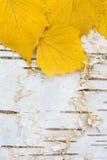 Blätter der gelben Birke auf Barke der weißen Birke Stockfotos