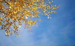 Blätter der gelben Birke auf blauem Himmel stockbild