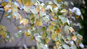 Blätter der gelben Birke im Schnee stock video