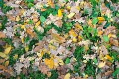 Blätter der gelben Eiche auf dem Gras Stockbilder