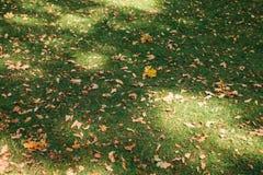 Blätter der gelben Eiche des Herbstes liegen auf dem Gras stockfotografie