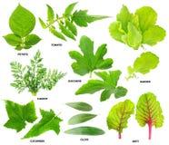 Blätter der Gemüseanlagen Stockfotos