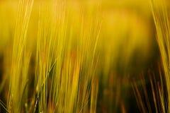 Blätter der Gerste angesichts der untergehenden Sonne Stockfotografie