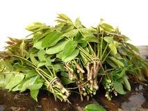 Blätter der grünen Olive Lizenzfreies Stockfoto