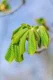 Blätter der Kastanie Lizenzfreie Stockbilder