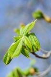 Blätter der Kastanie Stockbild