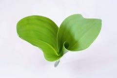 Blätter der Lilie des Tales Stockfoto