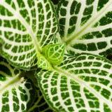 Blätter der nervr Anlage Lizenzfreies Stockbild
