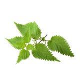 Blätter der Nessel Stockfotografie
