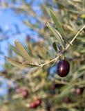 Blätter der Oliven und der fälligen Frucht auf dem Zweig Stockfotografie