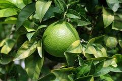 Blätter der orange Frucht und des Orangenbaums Stockfotografie