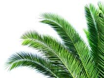 Blätter der Palme Lizenzfreie Stockfotos