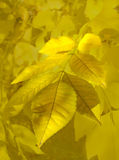 Blätter der Pappel Lizenzfreie Stockfotografie