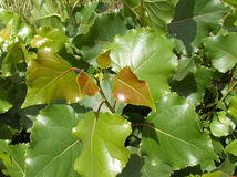 Blätter der Pappel Stockfotos
