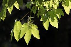 Blätter der Platane, Acer pseudoplatanus Lizenzfreies Stockfoto