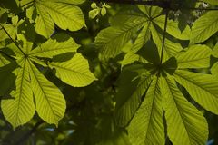 Blätter der Rosskastanie stockfoto
