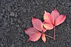 Blätter der roten Traube aus den Grund Stockbilder