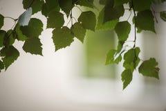 Blätter der russischen Birke stockfoto