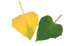 Blätter der süßen Kartoffel Lizenzfreie Stockfotos