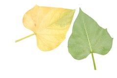 Blätter der süßen Kartoffel Stockfotografie