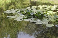 Blätter der Seerose Lizenzfreies Stockfoto
