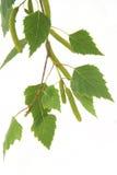 Blätter der silbernen Birke Lizenzfreie Stockfotos